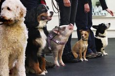 This 45-pound miniature pig is the smartest pupil in her dog-obedience class.