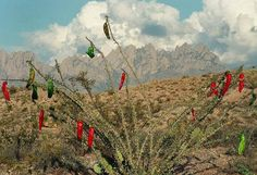 Mike Groves Photography, near  Las Cruces, NM · I FOUND IT! The rare and elusive Christmas Cactus, sprouting red and green chile decorations. And, it waited until the day AFTER Thanksgiving to appear!! Also, I saw a Jackalope with a santa hat running away from the site as I hiked up to it!! Could It be?