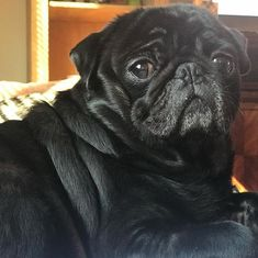 Momma said I was oh so handsome in dis pic #pugs #alpuggcino #pugsofinstagram