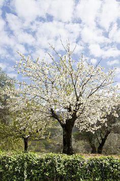 Cerezo en flor  Valle del  Jerte   Extremadura  Spain