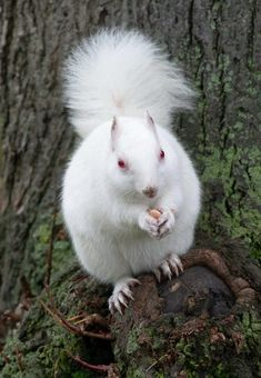 This albino squirrel is busy fattening himself up for winter.