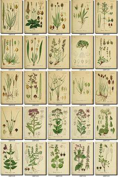 Collection of 208 vintage images vegetable botanical Sempervivum, Antique Maps, Botanical Illustration, Botanical Prints, Junk Journal, Vintage Flowers, Clipart, Vintage Images, Printable Wall Art