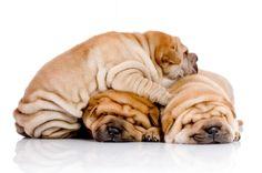 Shar-Pei puppy pile
