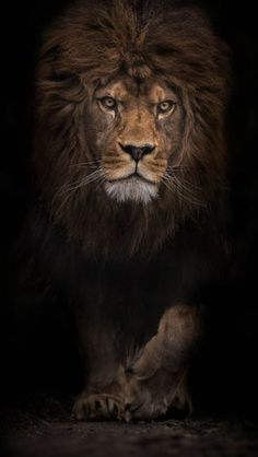 Modern home decor hd prints oil painting canvas wall art animal lion king - Tiere Lion Pictures, Animal Pictures, Lion Images, Pictures Images, Beautiful Cats, Animals Beautiful, Animals And Pets, Cute Animals, Lion King Animals