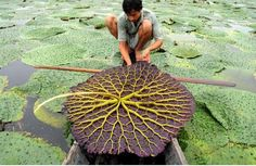 The World's fastest growing plant is The Giant Water Lily, which grows almost a foot a day.