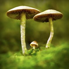 **forrest mushrooms