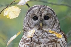 Barred Owl by grzegorz_lis1 via http://ift.tt/2eb53z1