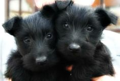 Scottish Terriers Precious babies....love the floppy ears.JSM