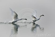 The swan is a large aquatic bird closely related to geese and ducks. The swan is known for it`s fierce temperament. he swan is found on both sides of the Equator across the Northern and Southern Hemispheres. The northern swan is generally white in colour with an orange beak as seen in the picture. Aquatic Birds, Ducks, Swan, Southern, Colour, Orange, Pictures, Photos, Color