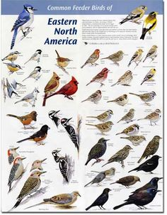 North Carolina Birds Identification - Bing images