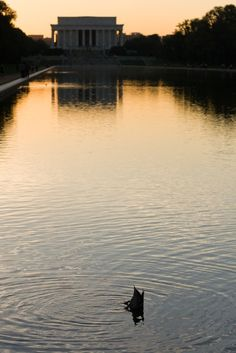 I just love dabbling ducks, and I've never seen a duck in the Reflecting Pool in all my visits!!