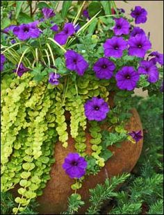 Goldilocks seem to bubble over the top of this container lying on its side. Its use as a spiller plant is complemented by the Easy Wave Blue petunias.