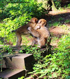Der Affenberg in Kärnten (bei Burg Landskron am Ossiachersee) ist wirklich einen Besuch wert! Kangaroo, Animals, Dog Garden, Animales, Baby Bjorn, Animaux, Animal, Animais