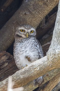 Spotted Owlet  (Athene brama mayri)