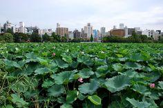 #tokyo #ueno #lotus