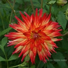 Pari Taha Sunrise - This semi-cactus vareity offers a flame blend of yellow and red flowers that measure up to 5 inches across. Height: 4'
