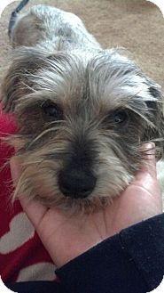 Rochester, NY - Rescued Treasures Pet Adoptions, Standard Schnauzer. Meet MALLORY, a dog for adoption. http://www.adoptapet.com/pet/14712261-rochester-new-york-standard-schnauzer