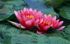 Lotus Wallpaper is an excellent quality Photo wallpaper of two Lotus Flowers with fantastic depth of field.