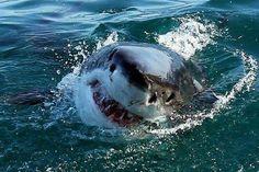 Sea, Sharks and Marine Wildlife Shark Pictures, Shark Photos, Orcas, Shark Bait, Underwater Life, Great White Shark, Shark Week, Killer Whales, Baby Shark