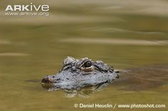 Endangered Species of the Week: Chinese alligator