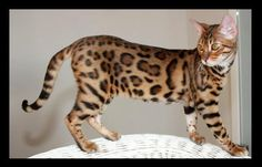Bengal cat, this will be mine one day!!
