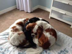 Oh my goodness!  Cavalier King Charles Spaniels wrote the book on how to cuddle.
