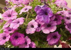 Petunia x hybrida grandiflora- Ryhmä - tarhapetunia