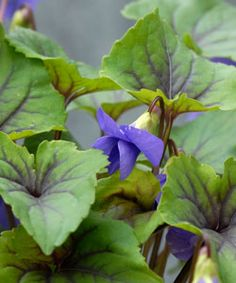 Viola spec. 'Smoky Mountains' - Veilchen