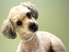 SAFE --- Manhattan Center   WEEPINBELL - A1018277  MALE, WHITE, POODLE MIN MIX, 7 yrs STRAY - STRAY WAIT, NO HOLD Reason STRAY  Intake condition EXAM REQ Intake Date 10/21/2014, From NY 10033, DueOut Date 10/24/2014,  https://www.facebook.com/Urgentdeathrowdogs/photos/pb.152876678058553.-2207520000.1414199003./891533097526237/?type=3&theater