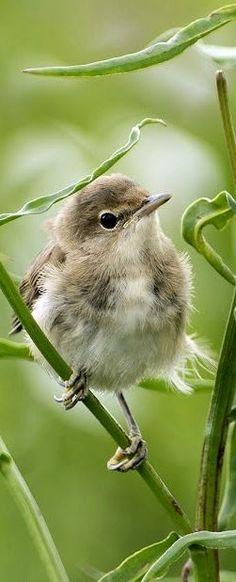 All Birds, Cute Birds, Pretty Birds, Little Birds, Beautiful Birds, Animals And Pets, Cute Animals, Crazy Bird, Tier Fotos