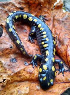A true treasure on a beautiful Autumn day:  spotted salamander