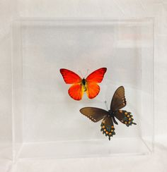 A personal favorite from my Etsy shop https://www.etsy.com/listing/229211558/papilio-battus-philenor-with-flame