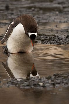 Penguin - self-reflection | Flickr - E F Dixon