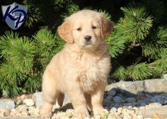 Rex – Golden Retriever Puppy www.keystonepuppies.com  #keystonepuppies  #goldenretriever