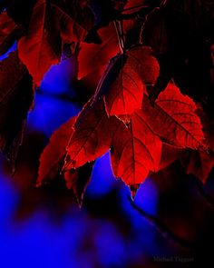 flower-fusion: First Touch of Morning - Amazing Pictures Flowers by Michael Taggart Photography fall autumn leaves red blue glow Purple Star Cluster - Amazing Pictures Flowers by Michael… View Post Colors Of The World, Red Color, Green Colors, Colour, Digital Foto, Blue Palette, All Nature, Blue Aesthetic, Shades Of Red