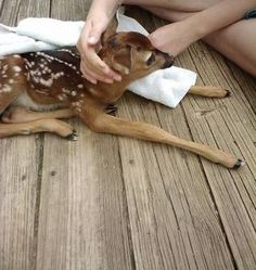 We rescued this fawn from a dog, but through a wonderful organization called ARC (Animal Rehabilitators of the Carolinas) we were able to  reunite her with her mom. We thank our heavenly father for the wonderful once in a lifetime experience. We also thank the wonderful team at ARC who do dedicate their time and knowledge to helping wildlife. She was so sweet and adorable. She was amazingly trusting towards our family!! An experience we won't forget!