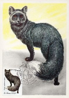 Silver-black fox. Fauna of the USSR. Fur-Bearing Animals. Artist V. Kolganov.  Printed in the USSR, Ministry of Communications USSR, Moscow,1980