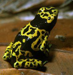 Yellow-Banded Poison Dart Frog, Dendrobates leucomelas