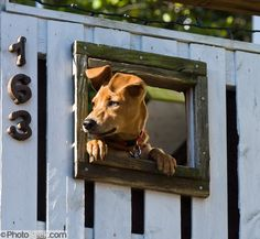 "Dog Fence Window | Dog Window in Fence | ""Sugar"" Baby"