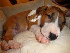 this gorgeous doggy named Kozmo Scheppke! (by Scheppke Marti)