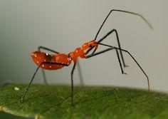 Assassin bugs - good for the garden. Soo fierce looking too!