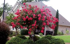 arapaho crape myrtle | Arapaho Crape Myrtle, landscaping idea | For my Yard & Garden