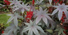 Der tropische Rizinus, auch als Wunderbaum bekannt, ist im Beet eine beeindruckende Erscheinung. Wir stellen die Blattschmuckpflanze vor und geben Tipps zur Anzucht, Pflanzung, Pflege und Überwinterung.