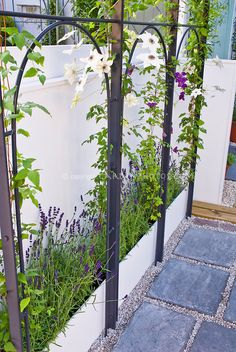 Good idea: raised bed behind trellis for climbing vine Clematis next to white wall and Lavandula herb lavender plants, flagstone patio