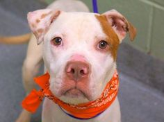 TO BE DESTROYED 9/10/14 Manhattan Center -P My name is LEO. My Animal ID # is A1012728. I am a male white and tan pit bull mix. The shelter thinks I am about 2 YEARS I came in the shelter as a STRAY on 09/02/2014 from NY 10473, owner surrender reason stated was STRAY. https://www.facebook.com/Urgentdeathrowdogs/photos/a.611290788883804.1073741851.152876678058553/868353936510820/?type=3&theater