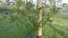 Barbados Cherry tree Food Forest, heavy producer free food