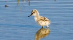 A colony of rare Avocet chicks have hatched at a wildlife park on Teesside.  Staff at RSPB Saltholme, near Stockton, have been working hard to create the perfect home for Avocets and their efforts have finally paid off.   The birds have nested within an area of flooded grassland inside a 'fox-proof' fence and three clutches have already hatched, with a further seven nests expected soon.  Dave Braithwaite, Saltholme Site Manager, said: