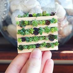 Be still my heart! It's a teeny tiny succulent palette! It's by and I heart it. Baby Succulents, Propagating Succulents, Succulents In Containers, Planting Succulents, Pinterest Garden, Little Gardens, Garden Terrarium, Succulent Terrarium, Succulent Arrangements