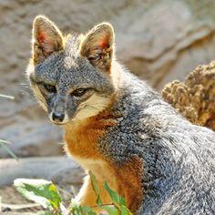 Channel Island fox - a California native :)