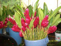 Hawaiianas rojas de Rio Cuilco, en Argovia finca resort en Tapachula Chiapas, Mexico